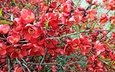 branch, flowering, leaves, spring, flowers, quince