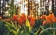 цветы, деревья, бутоны, стволы, весна, тюльпаны, стебли