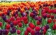 цветы, бутоны, листья, лепестки, весна, тюльпаны, стебли