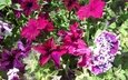 flowers, leaves, petals, petunias
