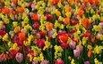 цветы, разноцветные, весна, тюльпаны, нарциссы