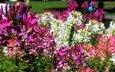 цветы, красные, розовые, белые, клеома
