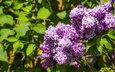 flowers, nature, flowering, leaves, branches, spring, lilac, aristovart