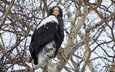 tree, branches, eagle, bird, beak, feathers, steller's sea eagle