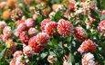 цветы, цветение, бутоны, лепестки, георгины