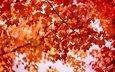 листья, клен, багрянец