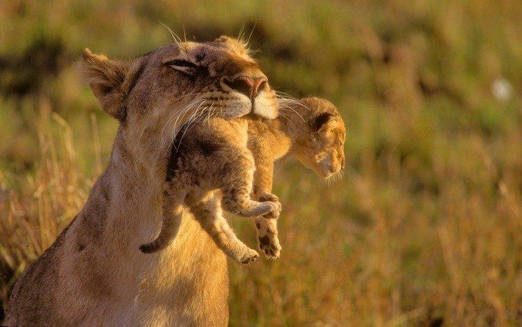 обои для рабочего стола, львята, животные, хищники, львы, дикие кошки, лев, мама, малыши, забота, wallpaper for desktop, the cubs, animals, predators, lions, wild cats, leo, mom, kids, care