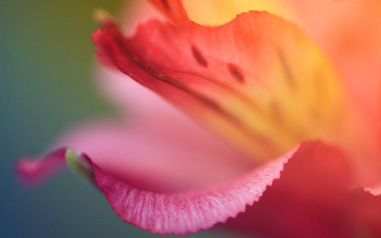 цветок, цвет, красный, лепесток, flower, color, red, petal