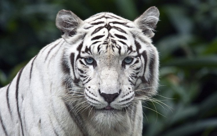 тигр, взгляд, белый, tiger, look, white