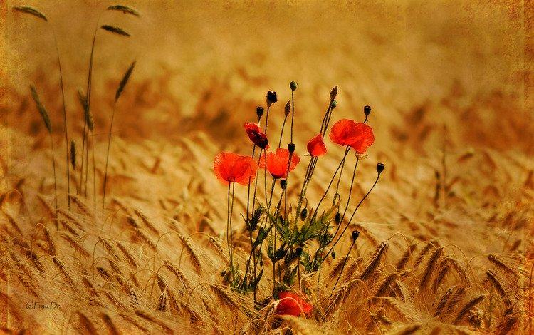 цветы, колоски, природа, обои, растения, фото, фон, поле, маки, flowers, spikelets, nature, wallpaper, plants, photo, background, field, maki