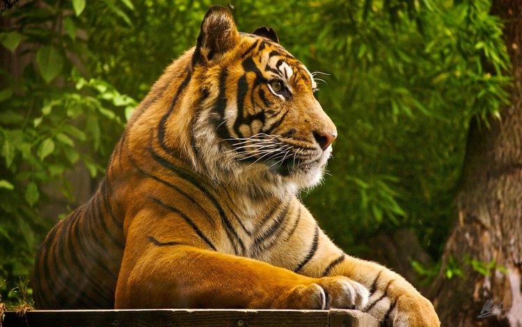 тигр, хищник, отдых, зверь, tiger, predator, stay, beast
