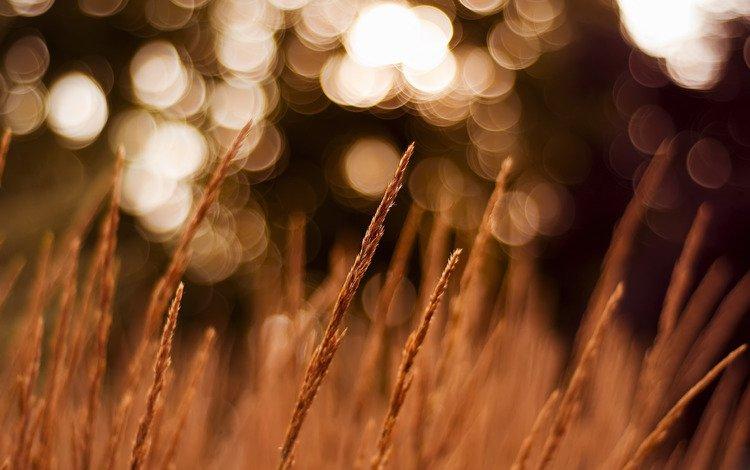 макро, поле, колоски, macro, field, spikelets