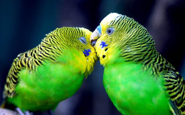 любовь, нежность, чувства, поцелуй, попугаи, love, tenderness, feelings, kiss, parrots