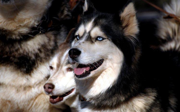 глаза, хаски, друг, стая, собаки, сибирская хаски, eyes, husky, each, pack, dogs, siberian husky