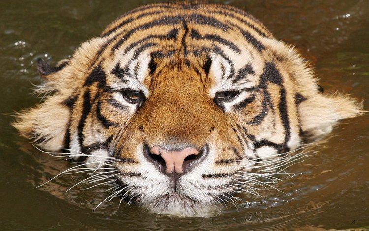 тигр, вода, киса, расслабся, tiger, water, kitty, relax