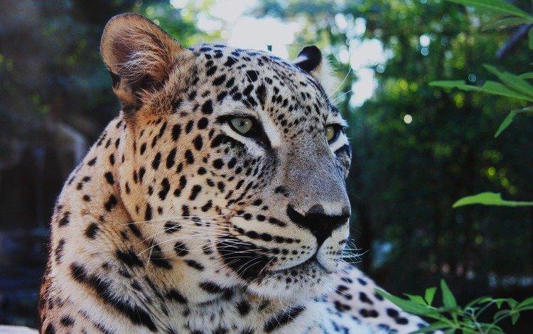 усы, леопард, задумчивый, mustache, leopard, brooding