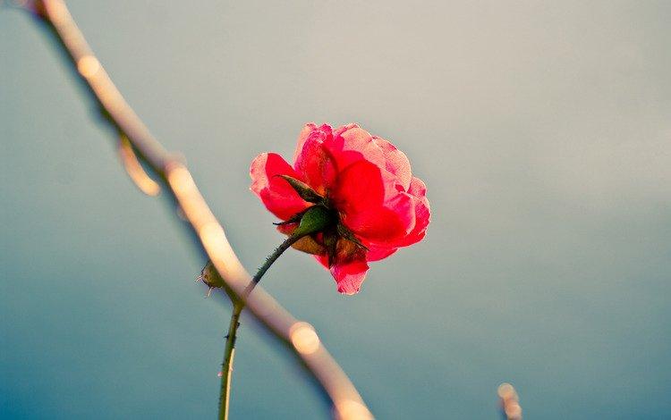 цветок, роза, красота, одиночество, перфекционизм, flower, rose, beauty, loneliness, perfectionism