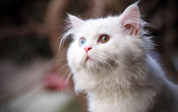 глаза, кот, кошка, взгляд, пушистый, белый, eyes, cat, look, fluffy, white