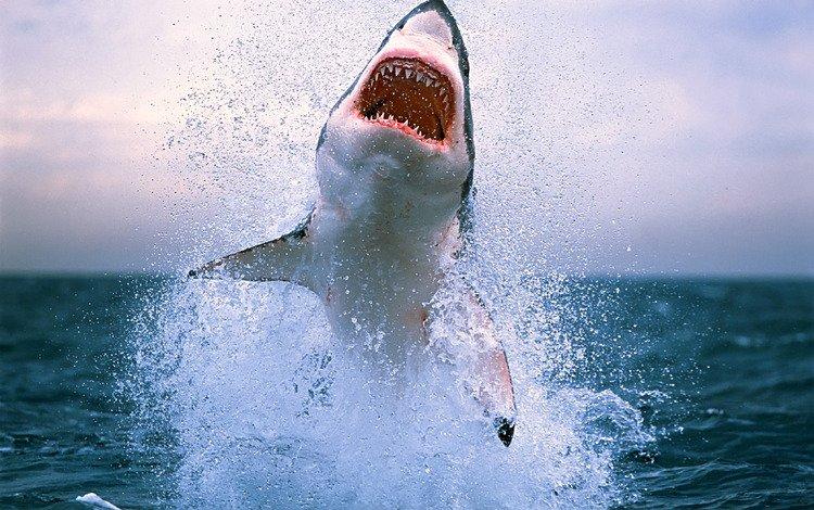 вода, обои с животными, волны, опасность, фото, акула, море, акулы, животные, брызги, океан, зубы, water, wallpaper with animals, wave, danger, photo, shark, sea, sharks, animals, squirt, the ocean, teeth