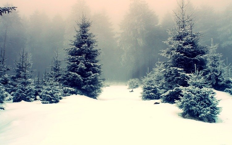 snow, nature, winter, frost, spruce, tree, the snow, forest snow around, winter forest