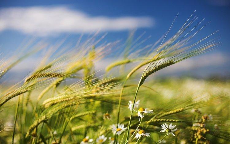 поле, лето, колоски, ромашки, ветер, field, summer, spikelets, chamomile, the wind