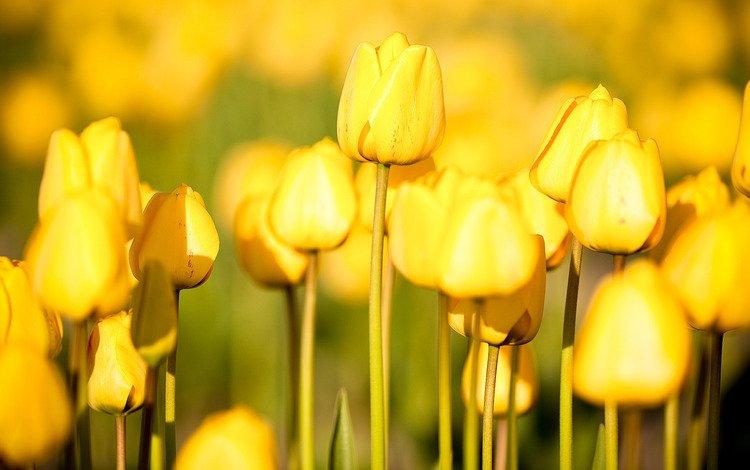 цветы, бесплатные картинки, природа, тульпаны, обои, цветы, фото, сад, nature wallpapers, фотографии, тюльпаны, огород, the garden, flowers, free pictures, nature, wallpaper, photo, garden, photos, tulips