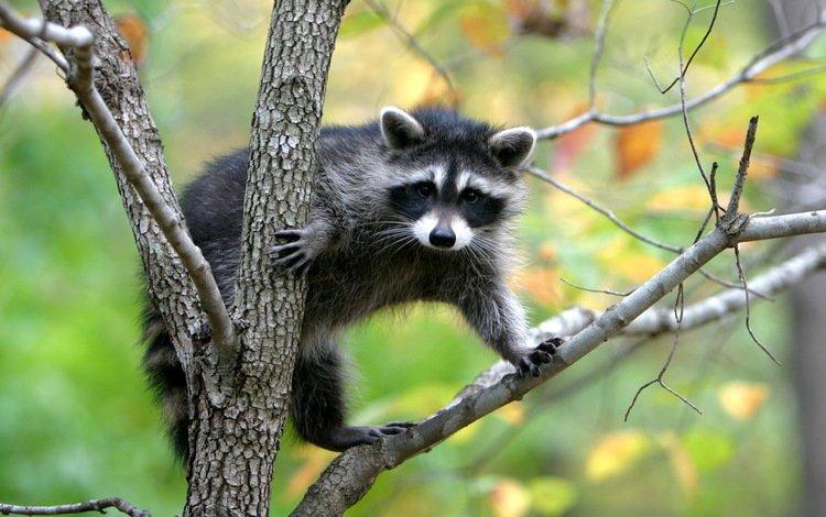 природа, дерево, енот, nature, tree, raccoon