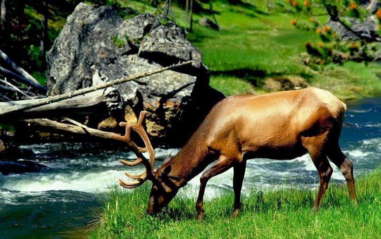 река, лось, river, moose