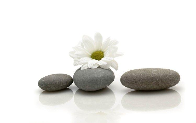 stones, flower, daisy