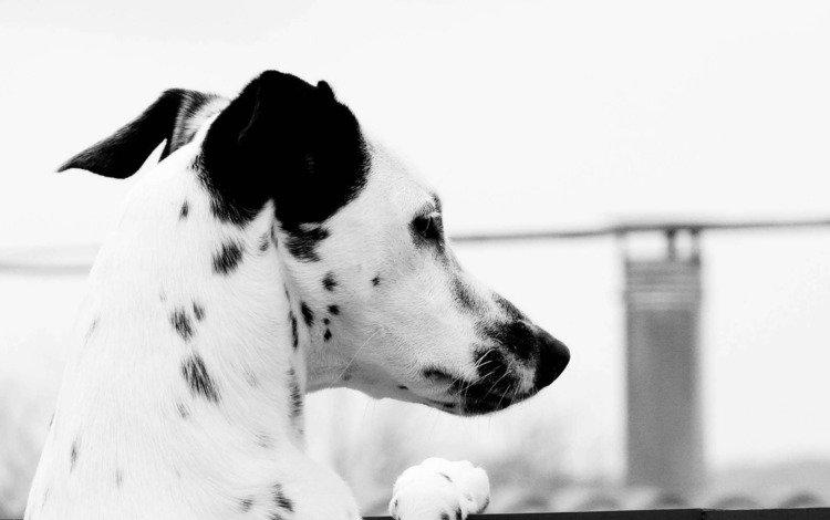 взгляд, чёрно-белое, далматинец, look, black and white, dalmatians