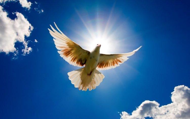 лучи, белый, голубь, rays, white, dove