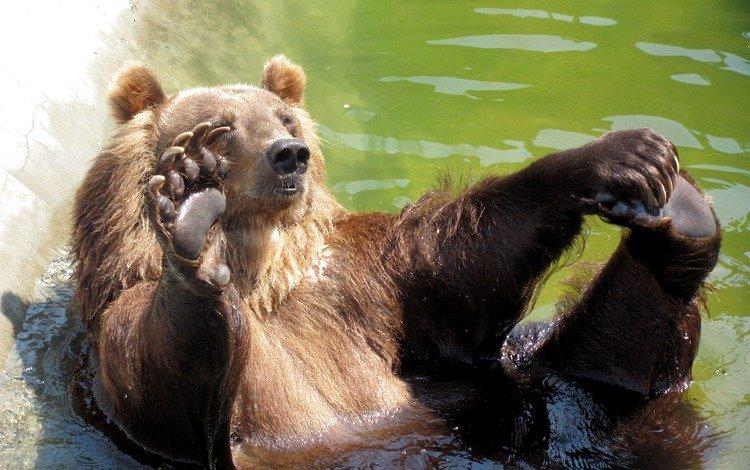 медведь, бассейн, привет, bear, pool, hi