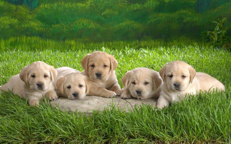 grass, puppies