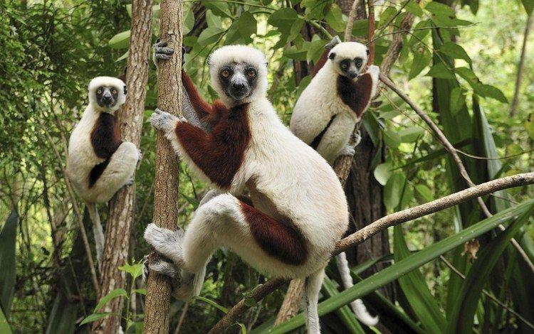 деревья, лес, лемуры, trees, forest, lemurs