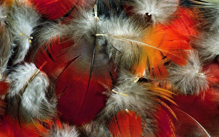 цвет, перья, пух, color, feathers, fluff