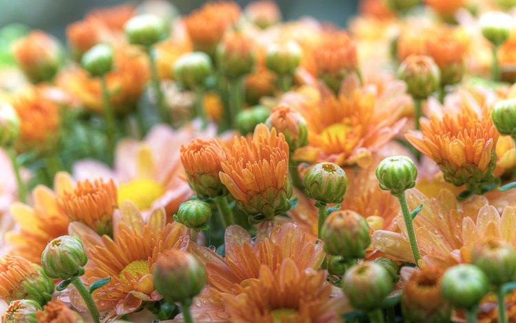 цветы, бутоны, макро, роса, капли, лепестки, герберы, хризантемы, flowers, buds, macro, rosa, drops, petals, gerbera, chrysanthemum