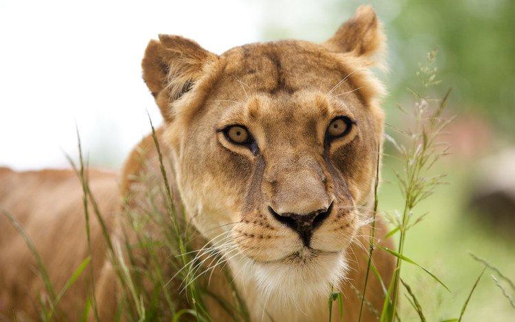 обои, животные, хищник, лев, львица, львёнок, животно е, wallpaper, animals, predator, leo, lioness, lion