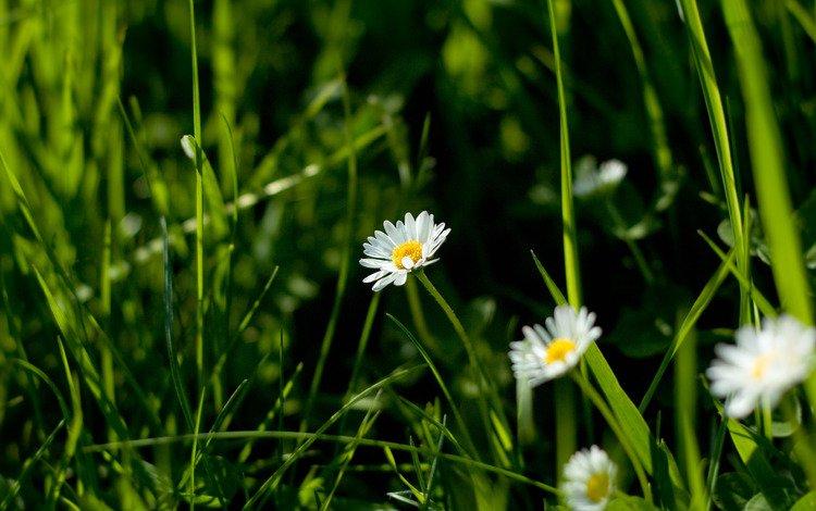цветы, трава, природа, макро фото, ромашки, flowers, grass, nature, macro photo, chamomile