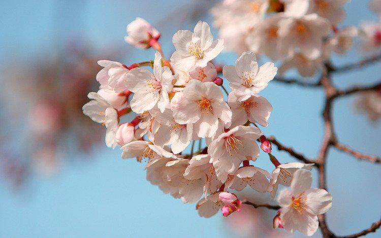 petals, japan, sakura