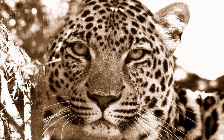 морда, макро фото, обои для рабочего стола, дикие кошки, хищники, леопарды, морды, face, macro photo, wallpaper for desktop, wild cats, predators, leopards, muzzle