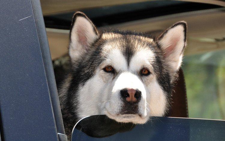 хаски, пес, карие глаза, влажный нос, husky, dog, brown eyes, wet nose