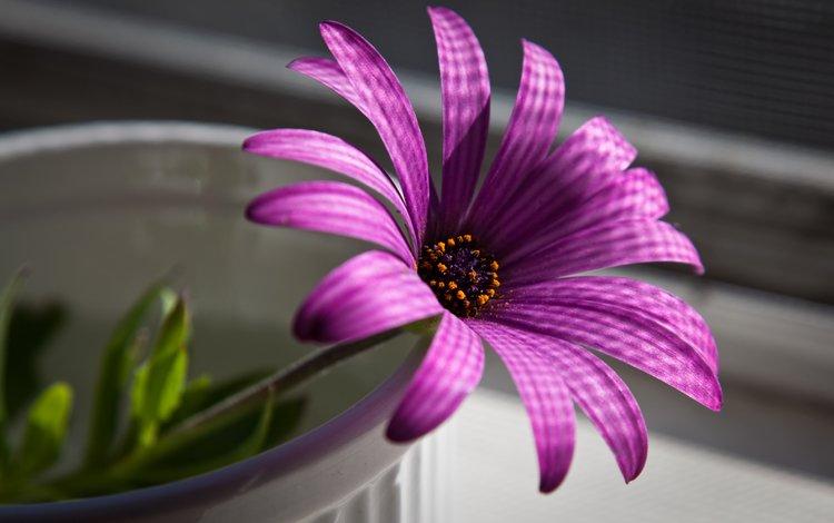 макро, цветок, пурпурный, macro, flower, purple