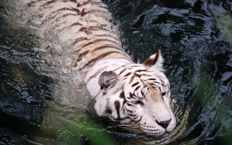 тигр, вода, белый, tiger, water, white