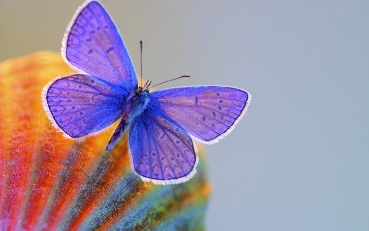 макро, бабочка, крылья, серый фон, macro, butterfly, wings, grey background