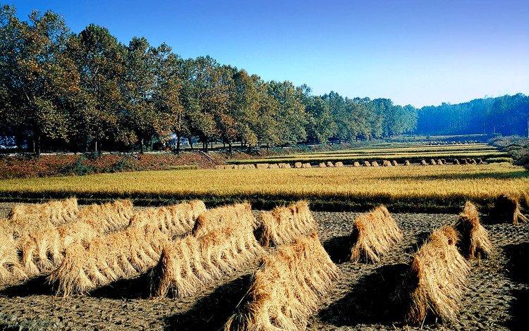 деревья, поле, сено, корея, trees, field, hay, korea