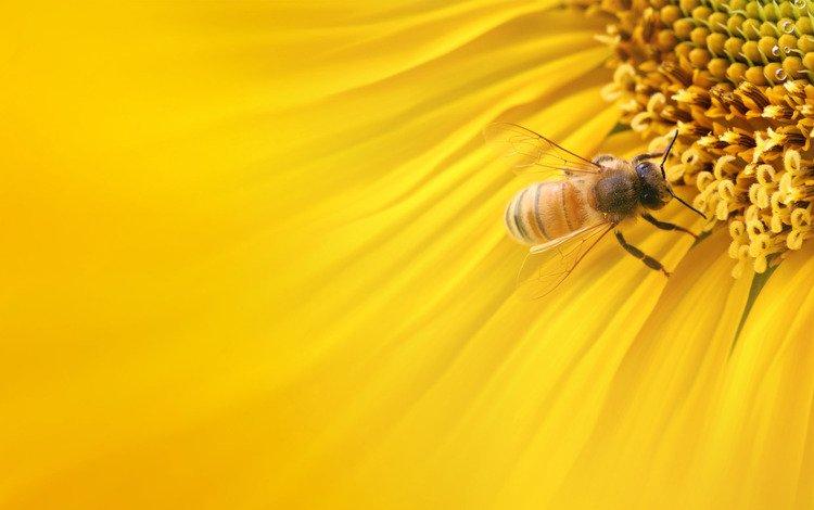 макро, подсолнух, пчела, macro, sunflower, bee