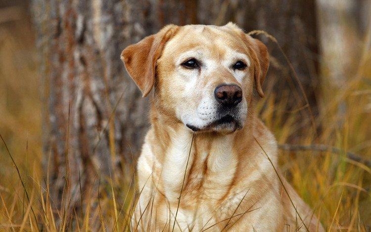 трава, осень, собака, пес, охотник, лабрадор, grass, autumn, dog, hunter, labrador