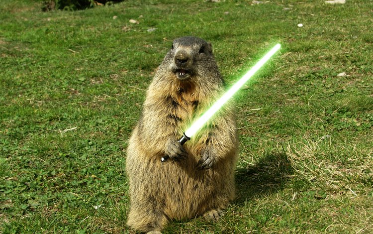 grass, green, sword, marmot