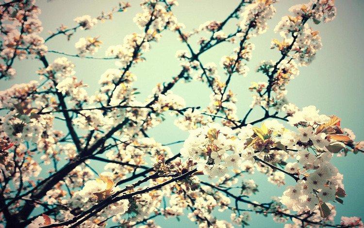 цветы, ветка, весна, вишня, flowers, branch, spring, cherry