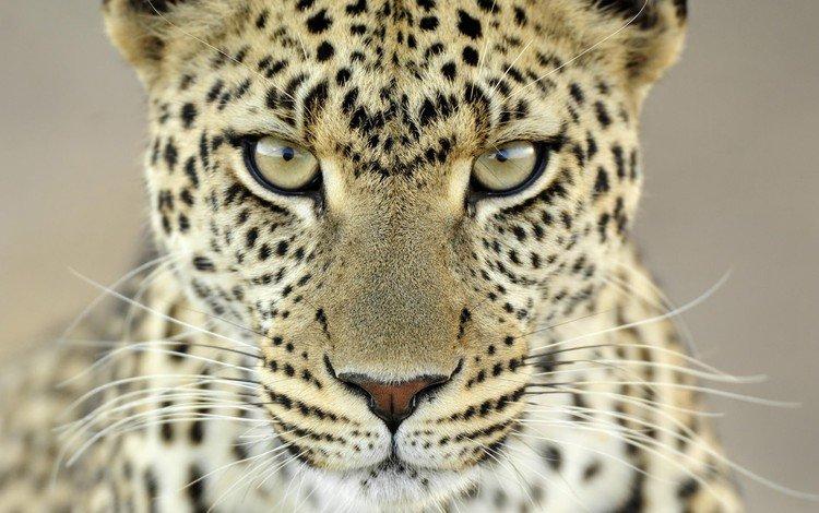 усы, взгляд, леопард, пятна, mustache, look, leopard, spot